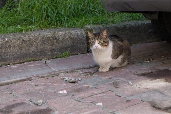 дворовый котик