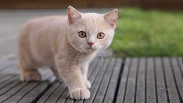 котенок светлый