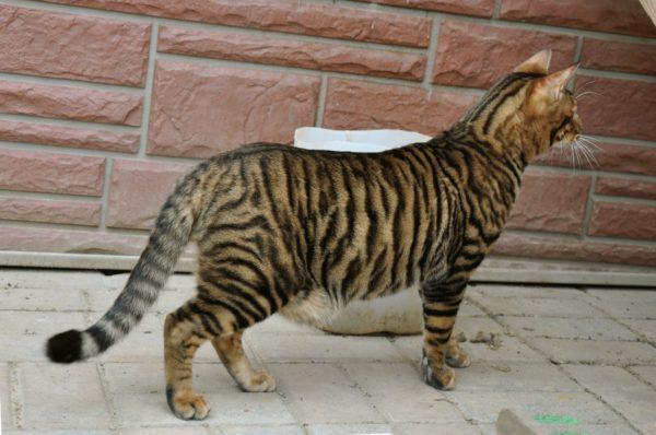 Породы-кошек-тигрового-окраса-Тойгер