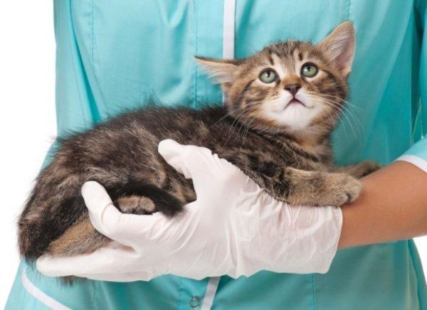 Что нужно делать, если у маленького котенка большой живот 3
