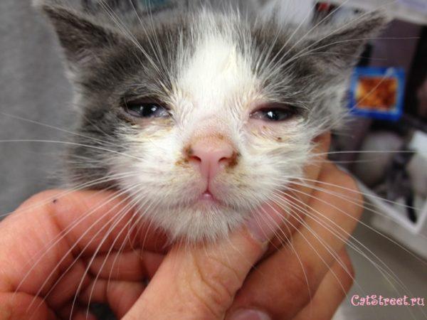 Чумка у кошек, симптомы и лечение 2