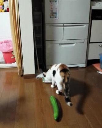 Коты боятся огурцов