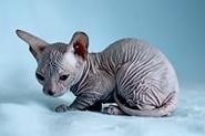 Как чистить уши котенку 2