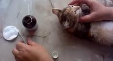 Как чистить уши котенку 6
