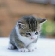 Как чистить уши котенку 7