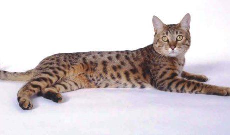 Калифорнийская сияющая кошка (California Spangled)