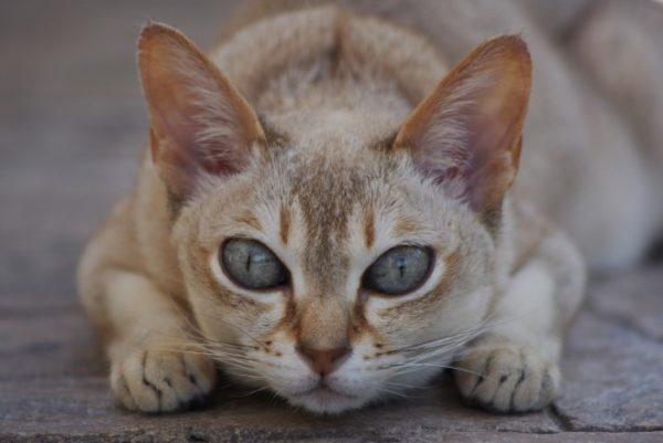 Клички кошек Ц