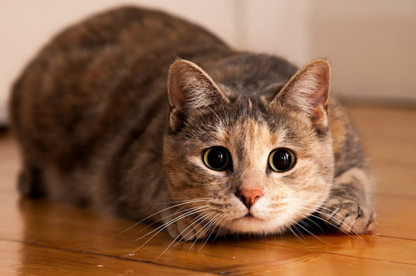Клички кошек О