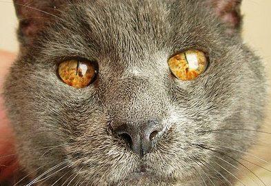Кошка Шартрез