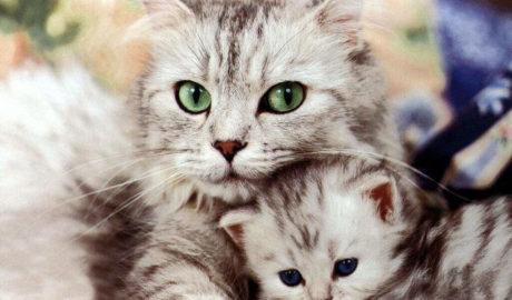 Лейкоз вирусный у кошек