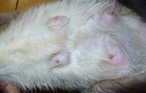 Мастит у кошек. Лечение и профилактика