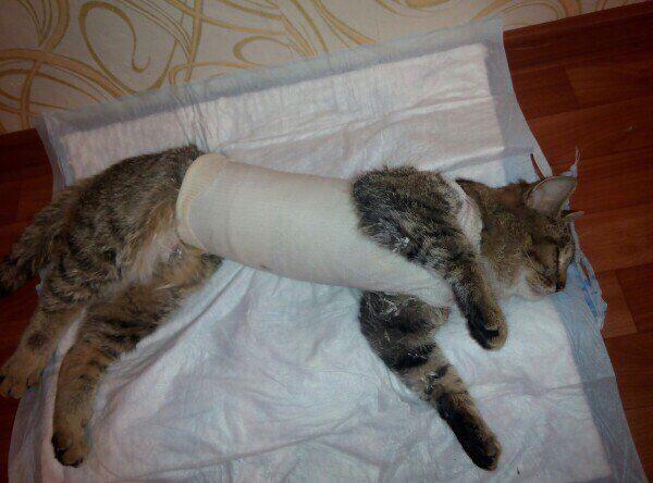 Остеохондроз у кошек