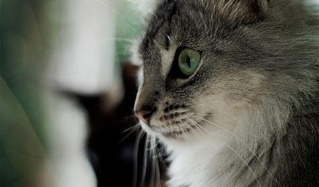 Почему кошки мурлычут