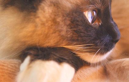 Пупочная грыжа у котят