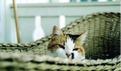 Ринит у кошек
