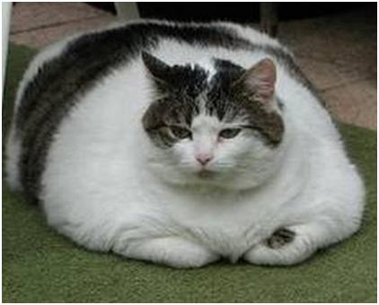 Диабет у кошки