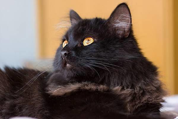 Кошка породы Тиффани