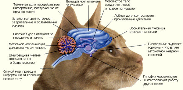 Мозг кошки