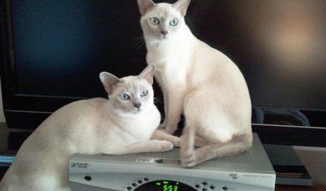 Тонкинская кошка (Tonkinese cat)