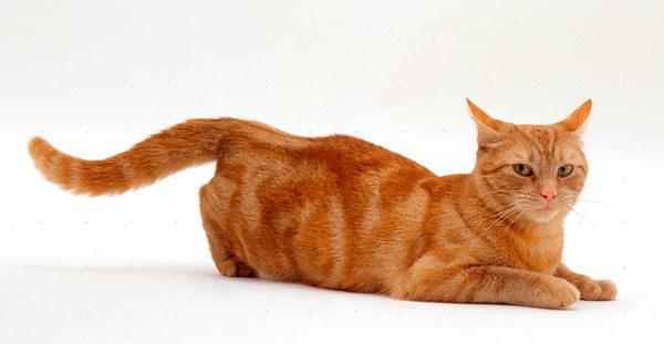 Затяжная течка у кошек